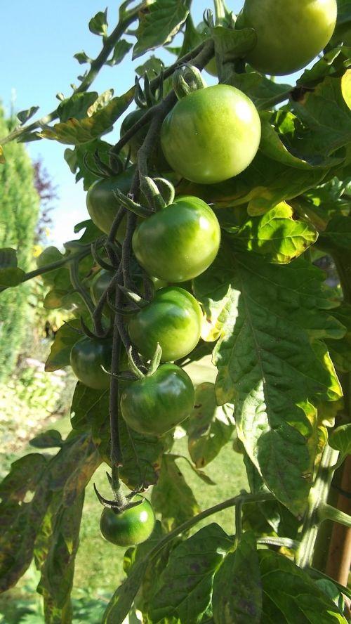 green tomatoes sun allotment