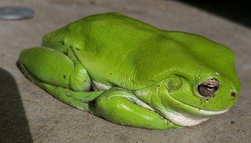 green tree frog frog australian frog