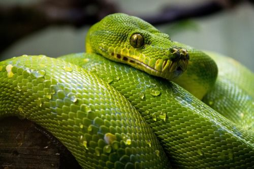 green tree python snake macro