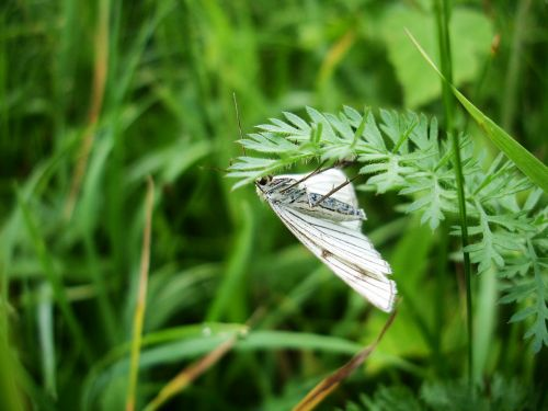 green veined white meadow butterfly