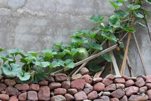 green vine melon fence