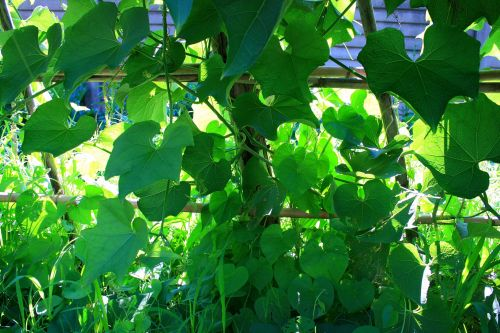 Green Vines Background