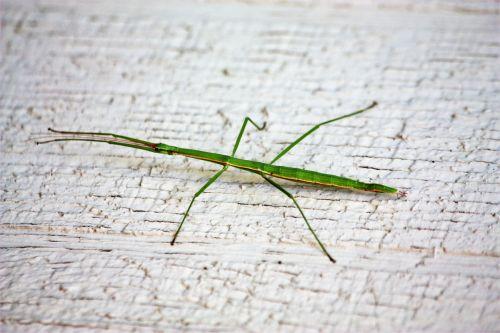 Green Walking Stick Bug