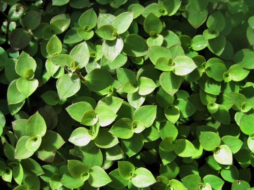 Green Wandering Jew Ground Covering