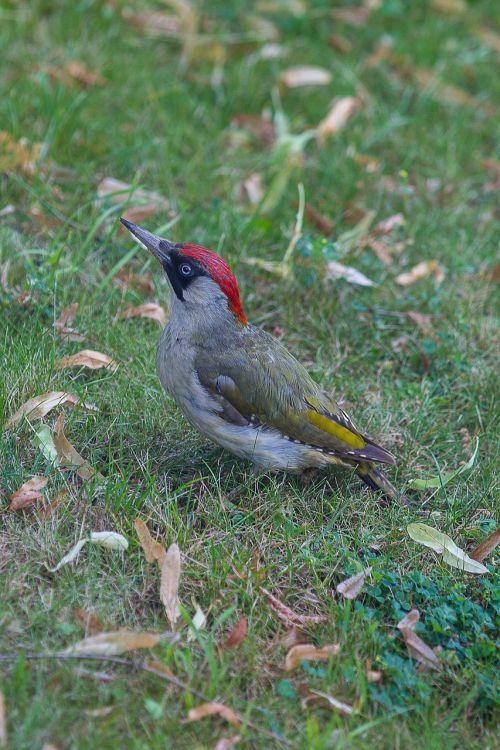 green woodpecker picus viridis woodpecker