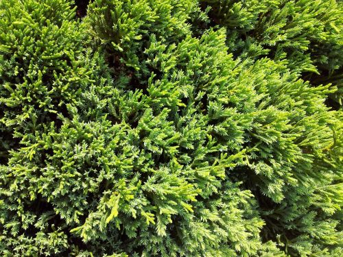 Greenery Pine Leaves Background