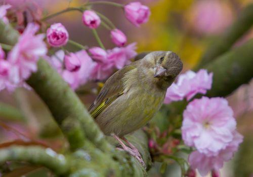 greenfinch fink bird