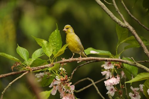greenfinch fink bird