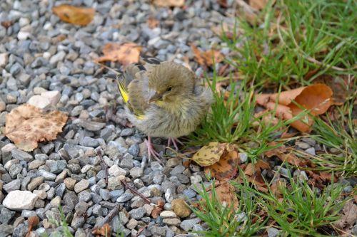greenfinch bird fink