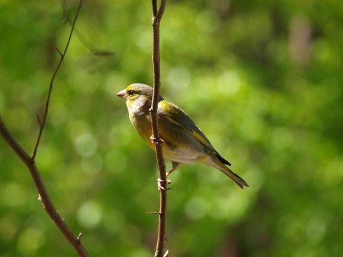 greenfinch bird chloris chloris