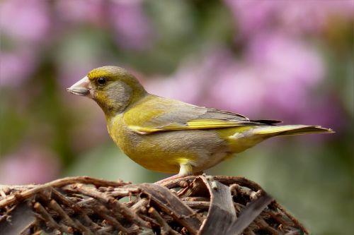 greenfinch bird foraging