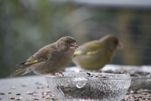greenfinch bird feeding