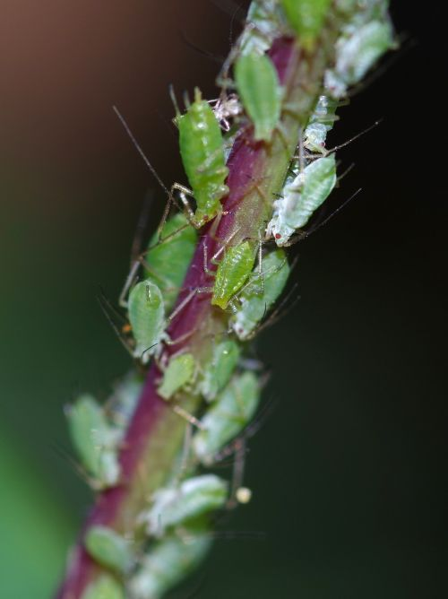greenfly pest bugs