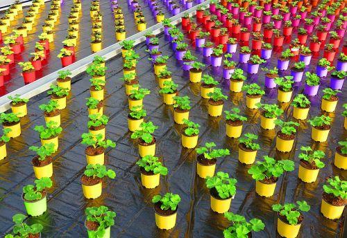greenhouse pot color