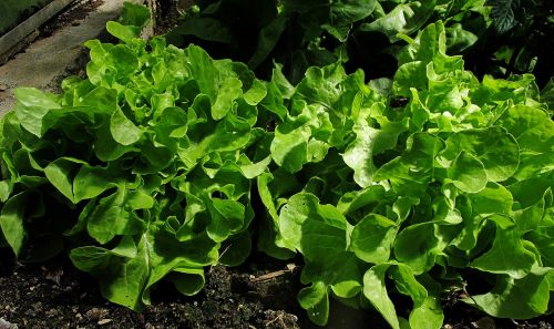 greenhouse salad ready to be harvested