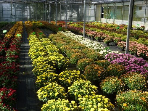 greenhouse horticulture chrysanthemum