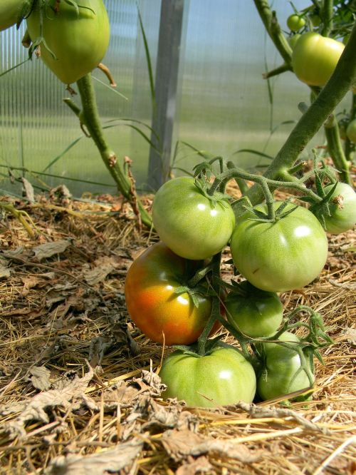 greenhouse tomatoes nutrition