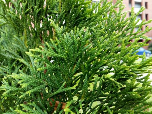 greens city thuja occidentalis