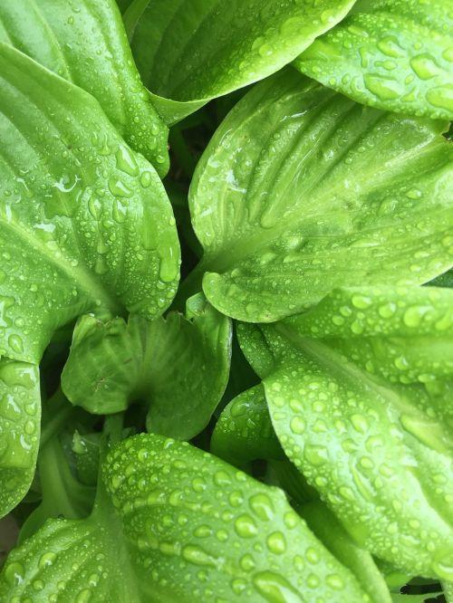 greens after the rain drops