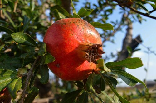 grenades fruit acidic fruits