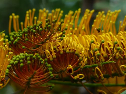 grevillea robusta flowers yellow