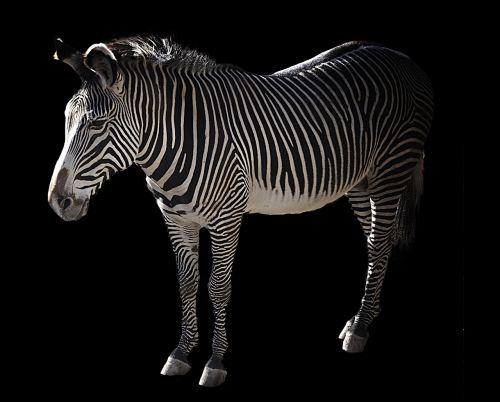 grevy zebra africa