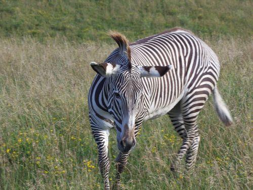 grevy's zebra zebra imperial zebra