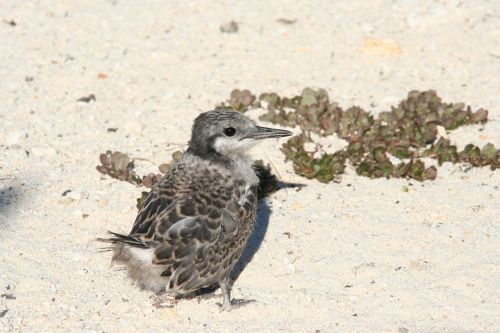 grey backed tern partly feathered baby