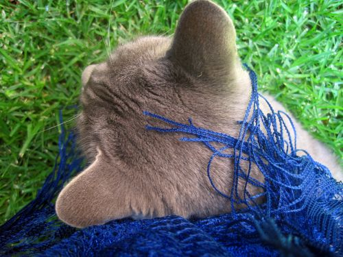 Grey Cat And Blue Scarf