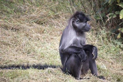 grey-cheeked mangabey  animal  fota wildlife park