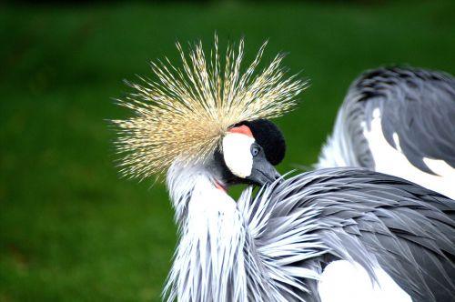 grey crowned crane eastern crowned crane crane
