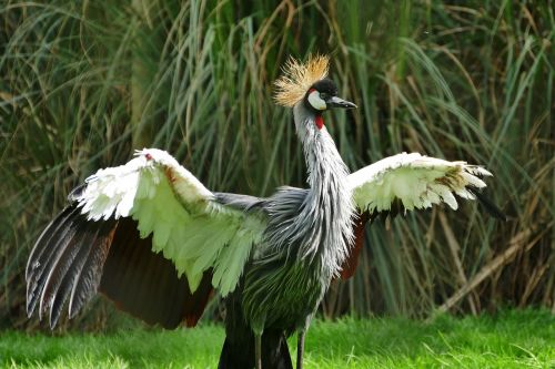 grey crowned crane bird crane
