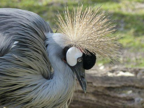 grey crowned crane crane bird