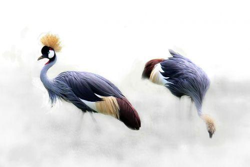 grey crowned crane cranes bird