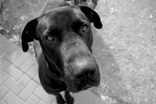 grey dane  dogs  adorable