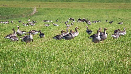 grey geese migratory bird nature