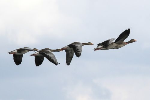 grey geese müritz mecklenburgische seenplatte