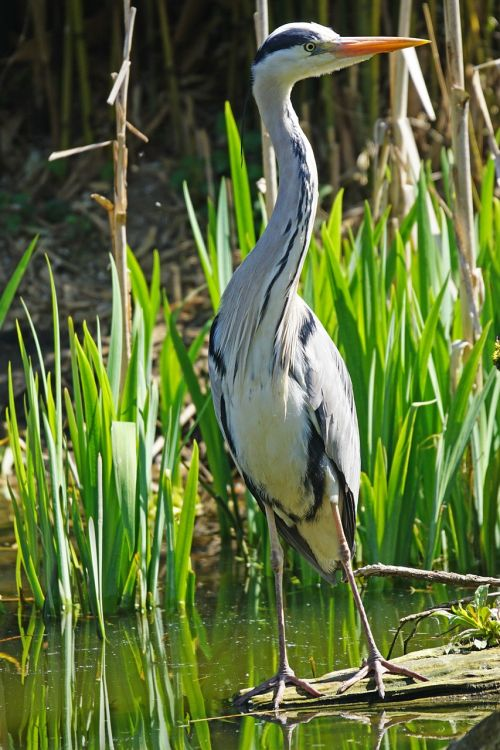 grey heron heron eastern