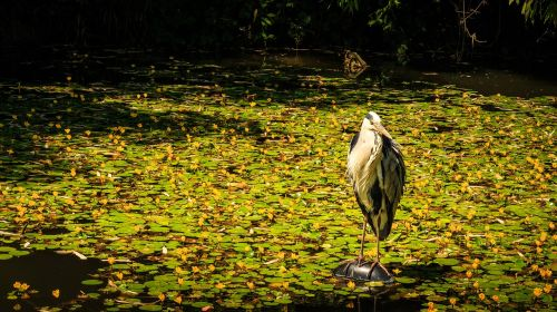 grey heron pond heron