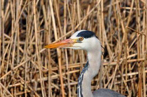 grey heron heron ardea cinerea
