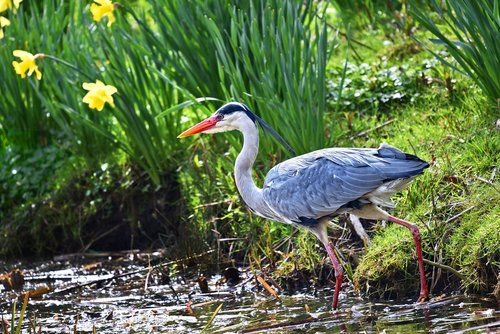 grey heron  heron  bird