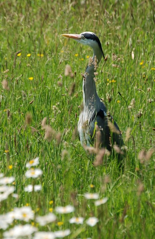 grey heron graceful ardea cinerea