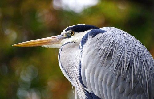 grey heron  water bird  pond