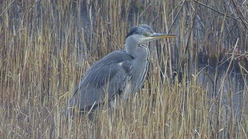 grey heron  grey  bird