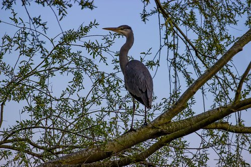 grey heron  heron in tree  resting