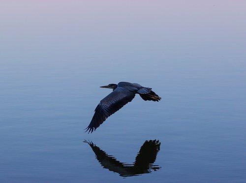 grey heron  grey heron in flight  heron