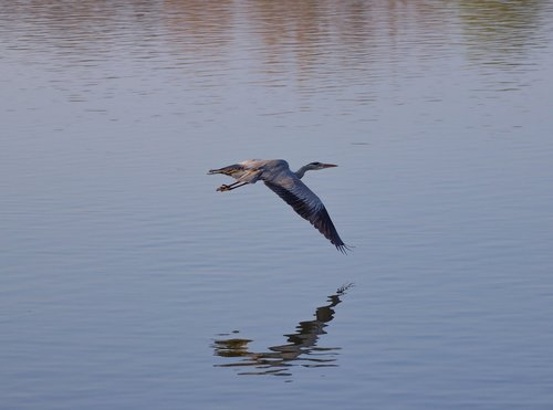 grey heron  grey heron in flight  heron