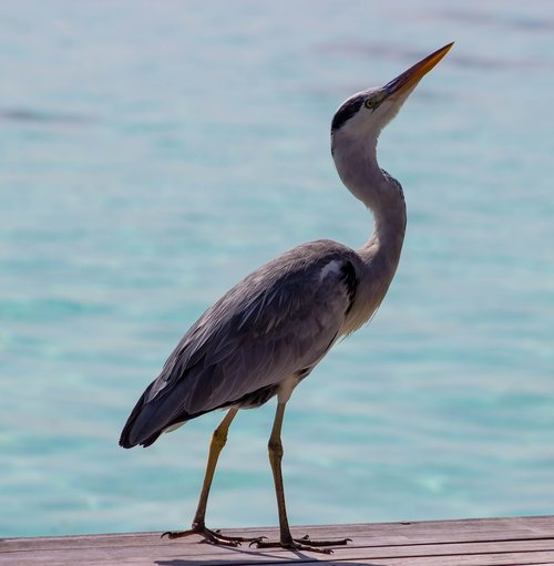 grey heron  heron by sea  grey heron on decking