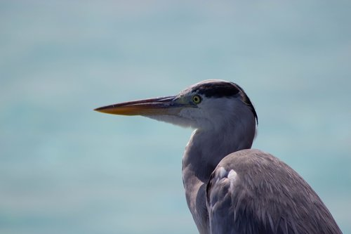 grey heron  heron  heron head