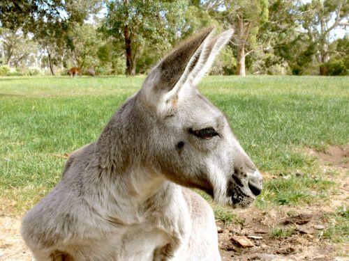 Grey Kangaroo Profile